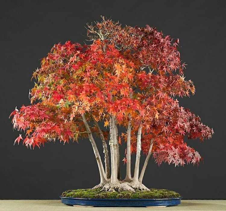 Alcobendas Bonsai Museum Yamamomiji Maple Acer Palmatum Var