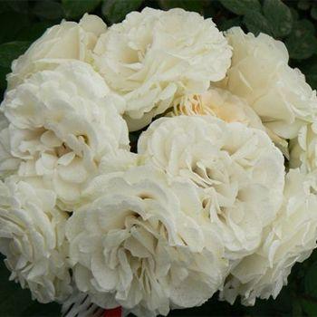 White Garden Rose white cloud spray garden roses (fifty flowers, 40 stems for