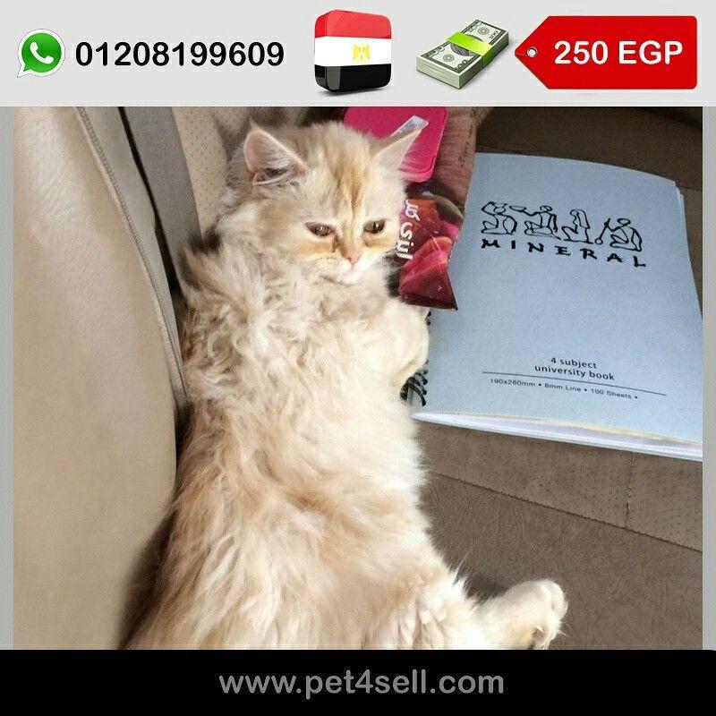 مصر القاهرة Sherazi Moon Face 70 Days للبيع قطه شيرازي عندها شهرين Whatsapp 01208199609 Call 01004197959 Pet4sell Cats Animals Books