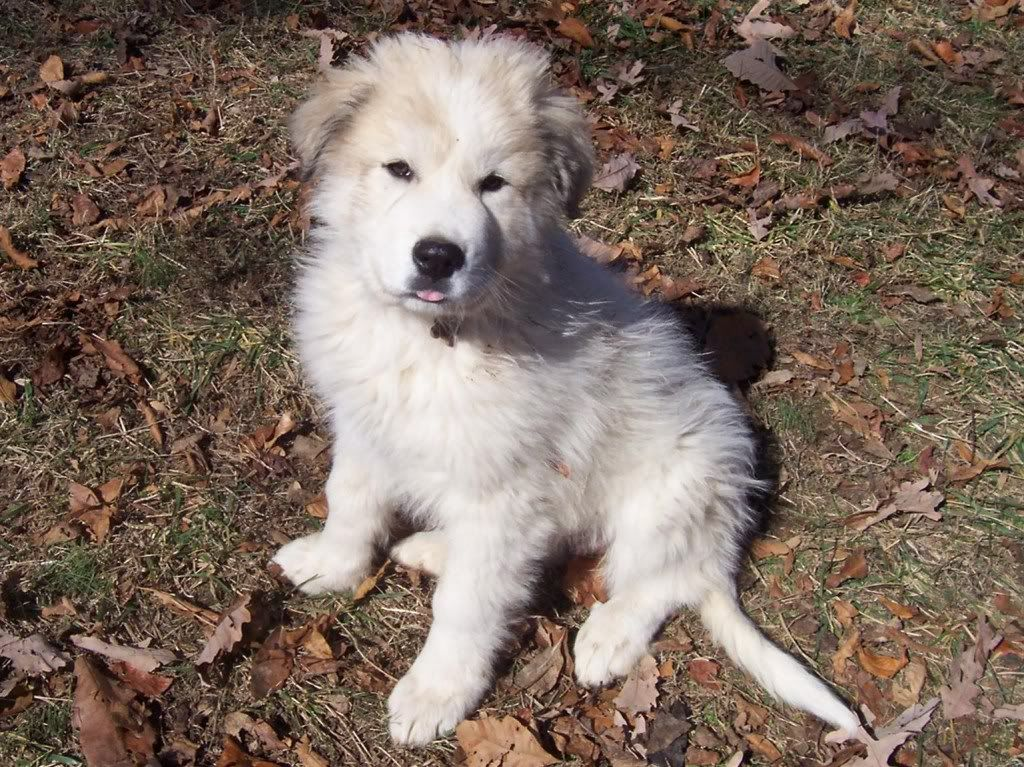 Great Pyrenees Anatolian Shepherd Mix | I need a dog (or ...