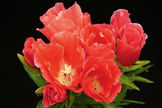 Godetia Coral Coral Flowers Wedding Flowers Peach Wedding Bouquet