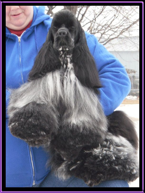 A Beautiful Blue Roan Cocker Black Cocker Spaniel American