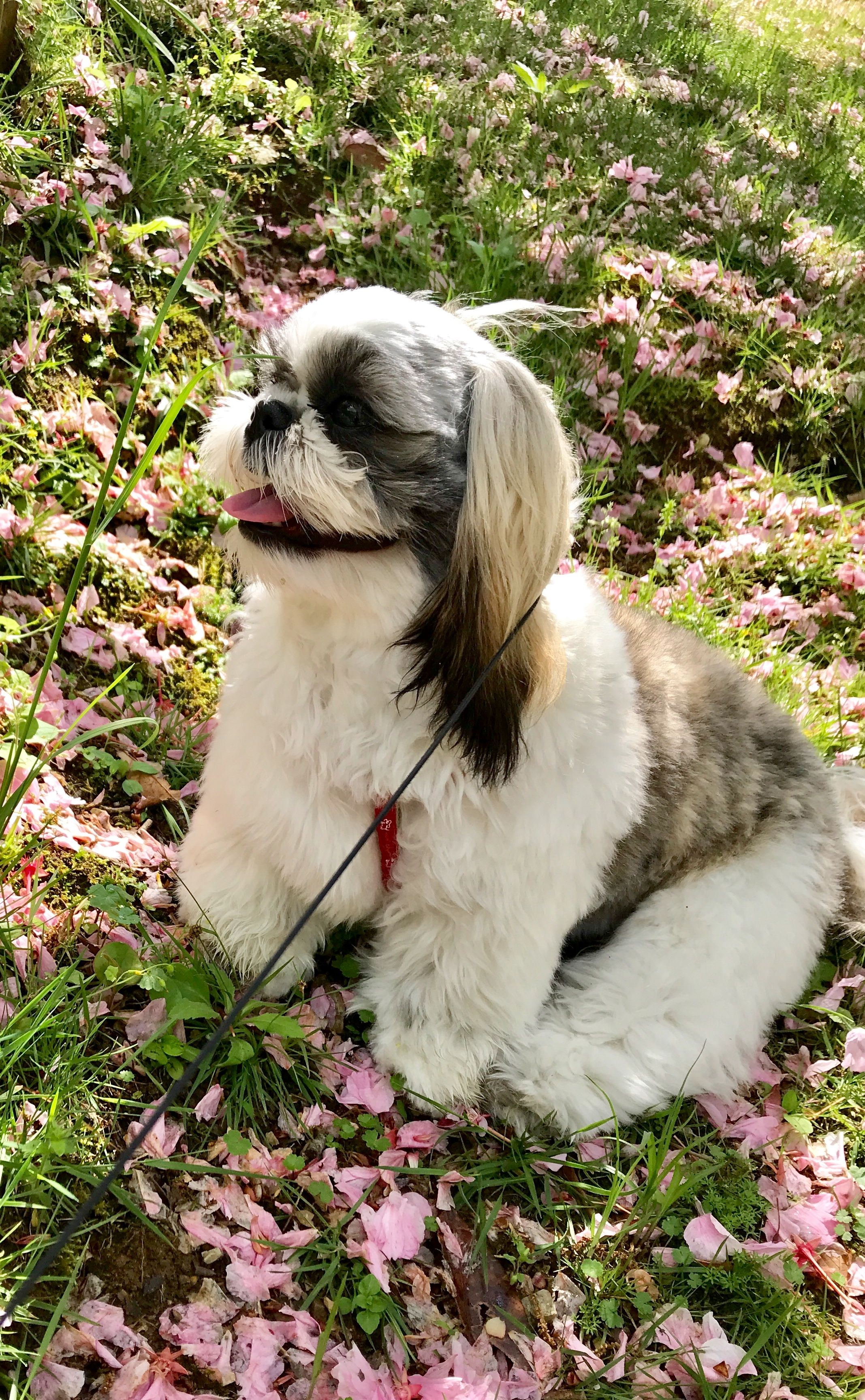 Pin By B G Schuster On Little Little S Shih Tzu Cute Dogs Puppies