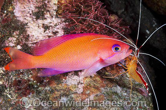Shrimp Cleaning Pink Basslet Tulamben Bali Indonesia Sea Animals Fish Pet Image
