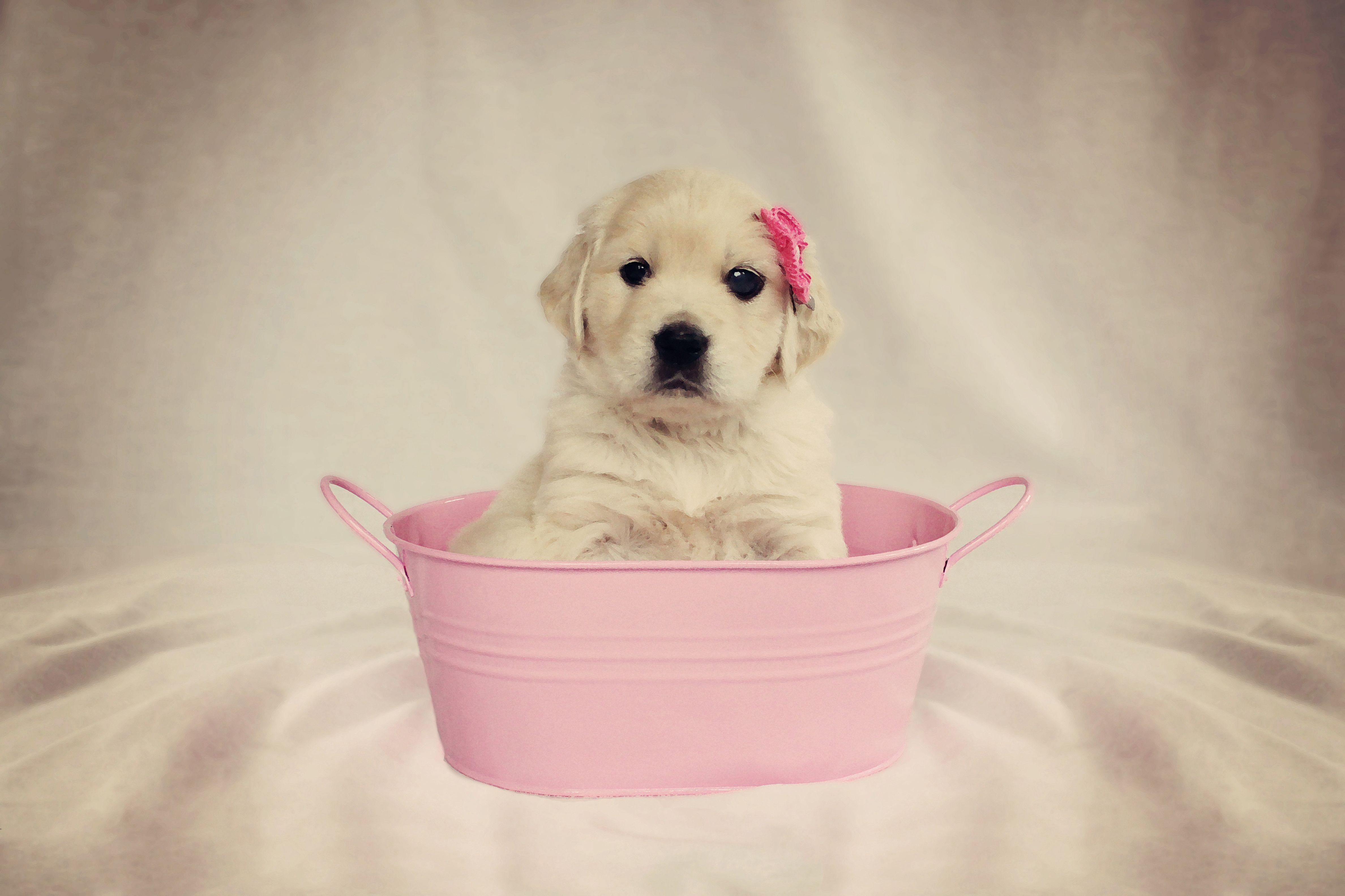 Pretty In Pink Golden Retriever Puppy Golden Puppies English Golden Retriever Puppy Golden Retriever Puppy