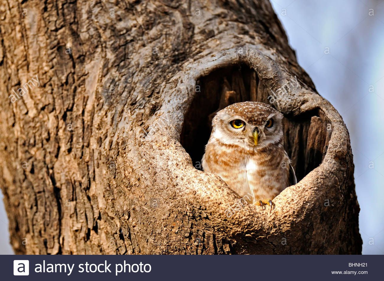 Spotted Owlet (athene Brama) Staring From His Nest In A Tree Stock Photo, Royalty Free Image: 28133897 - Alamy