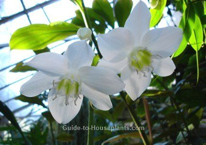 Amazon Lily Type Of Lilies Growing Lilies Eucharis X
