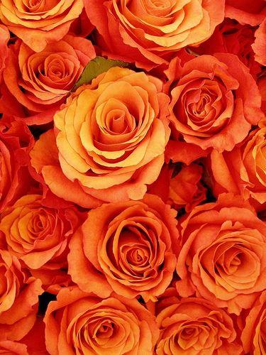 Gathering roses (dark orange)
