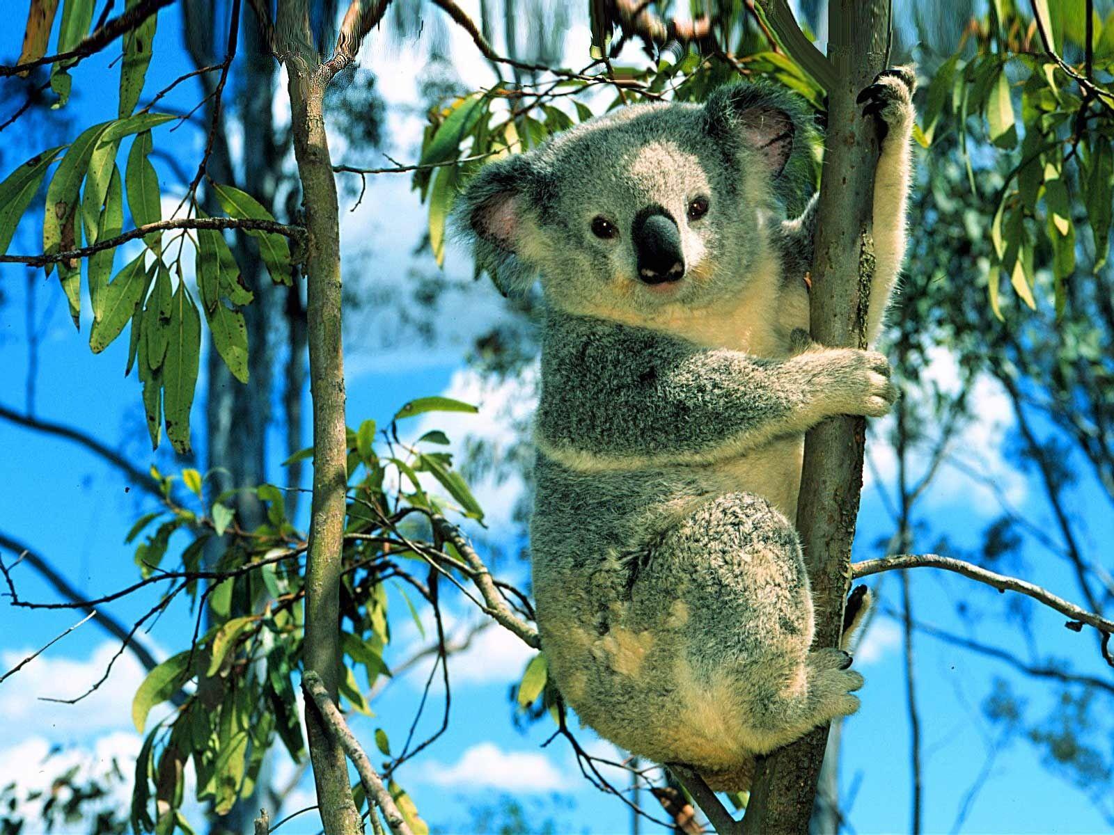 Cute Koala Bear Wallpaper Free for Desktop 1600x1200 px 49785 KB