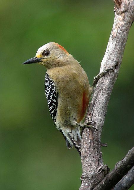 Carpintero habado / Red-crowned Woodpecker (Melanerpes rubricapillus) female