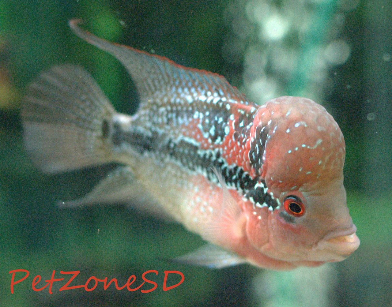 New Gen Srd Flowerhorn E Tropical Fish Freshwater Aquarium Fish Fish Pet