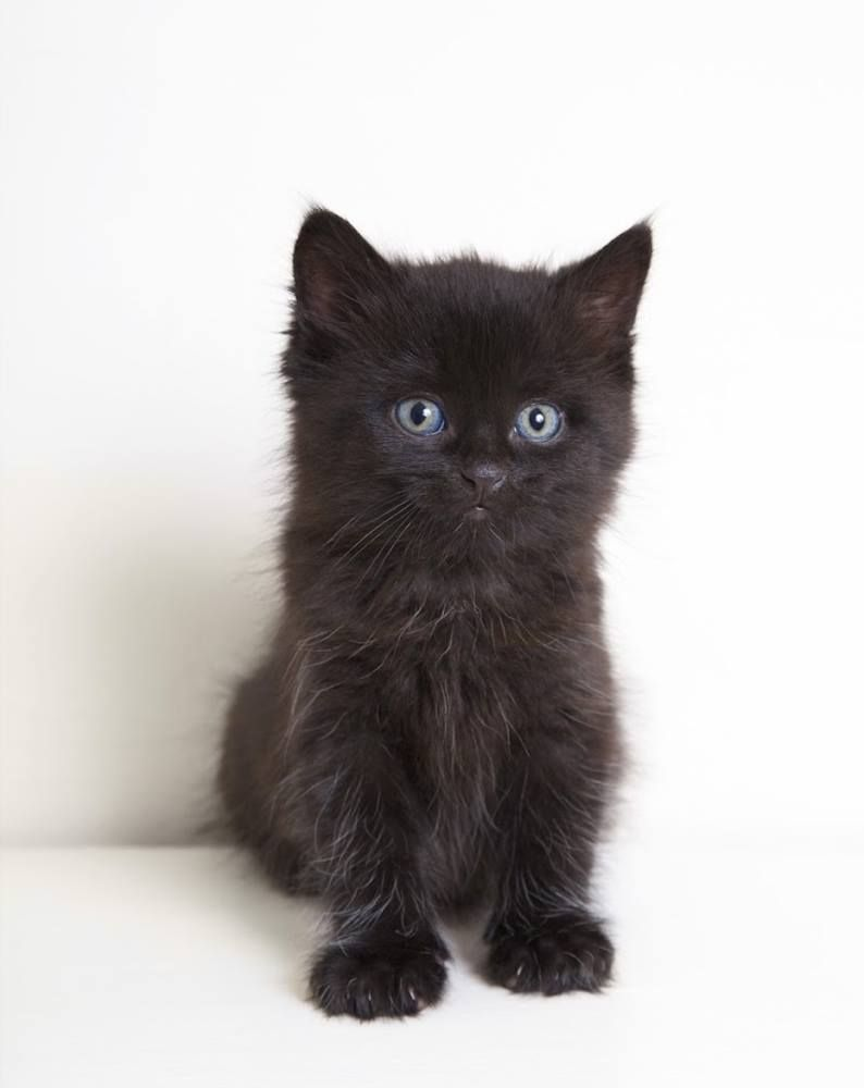 What A Gorgeous Little Black Kitten Did You Know That Many People Avoid Black Cats When Adopting Cats Cat Kittens Cuteanimals Cats Kittens Kittens Cutest