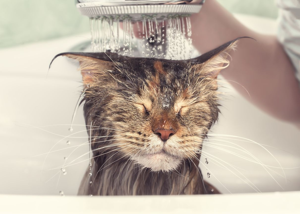 Should I Bathe My Cat Canidae Blog Cat Bath Cat Groomer Cat Breeds