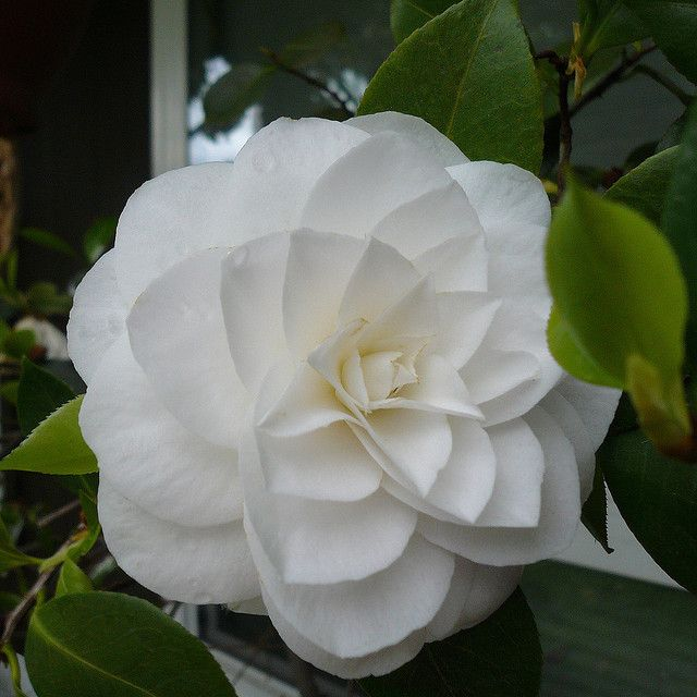 White Camellia Purity White Camellia Camellia Plant Beautiful Flowers