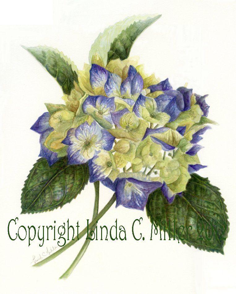 Blue Hydrangea Print, Linda C Miller.