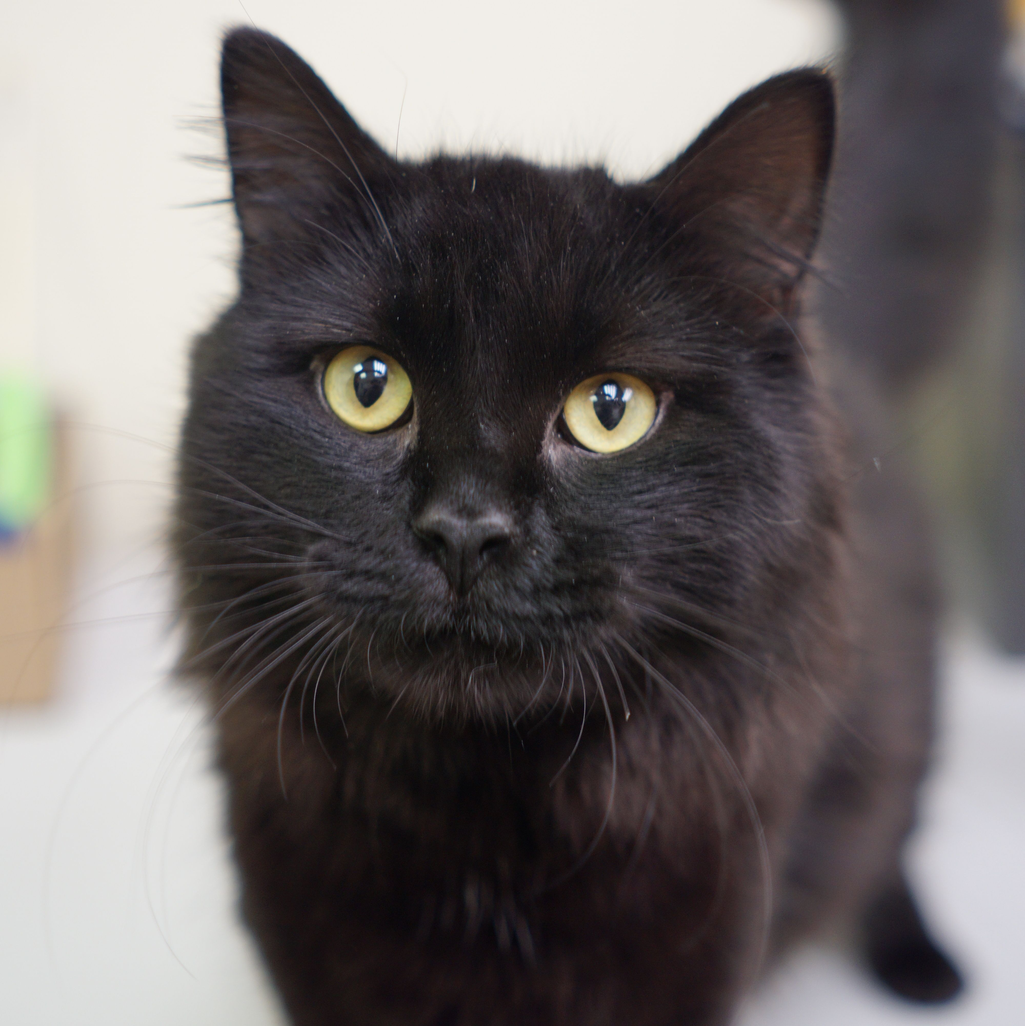 Moonshine Is Around 1 Year Old And Found A Forever Family Cat Adoption Cat Today Cat Rescue