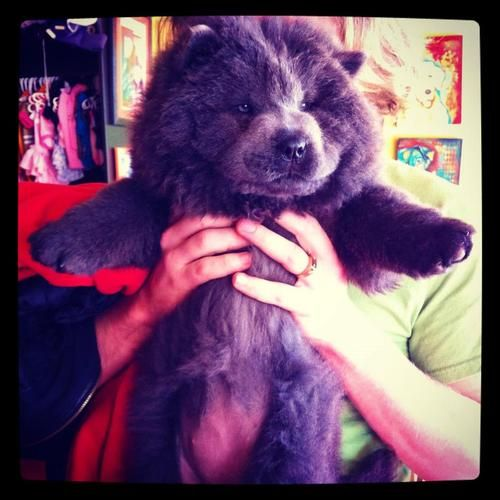 Blue Chow Chow My Chang Was A Blue Chow I Miss Him So Much Boo The Dog Chow Chow Dog Puppy Animal Lover