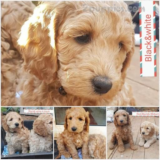 Find your dream puppy of the right dog breed at Dog