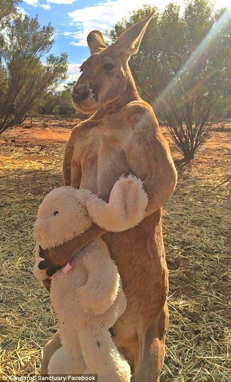 A 2m red kangaroo who crushes buckets for fun and will only get ...