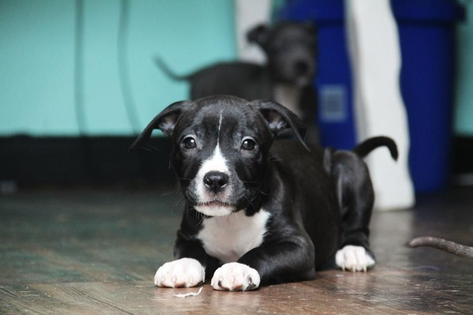 Sugar (female) 9 weeks old. To adopt fill out an application at www.vrcpitbull.com
