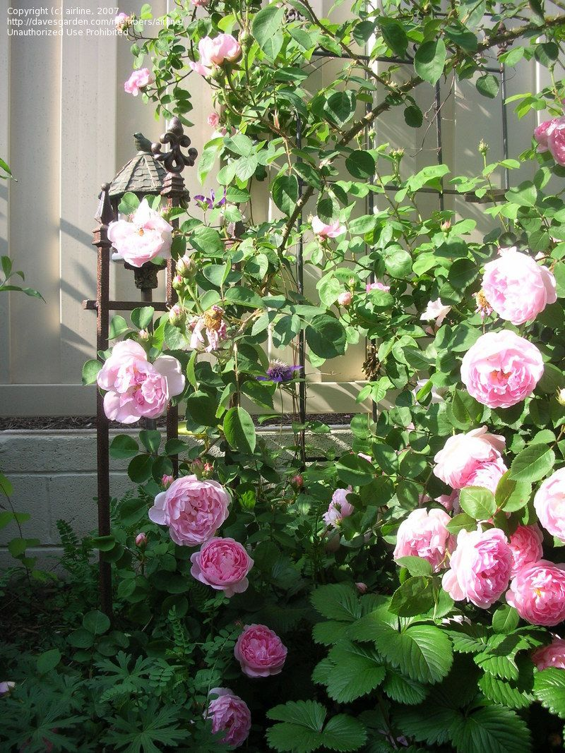 English Rose Austin Constance Spry To Zone 10