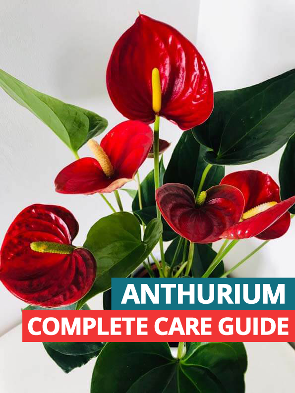 Anthurium Houseplant Care Guide House Plant Care Lilly Plants Anthurium Plant