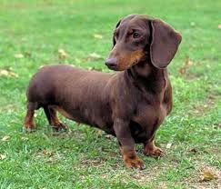 Chocolate Short Haired Dachshund Miles Next Best Friend With