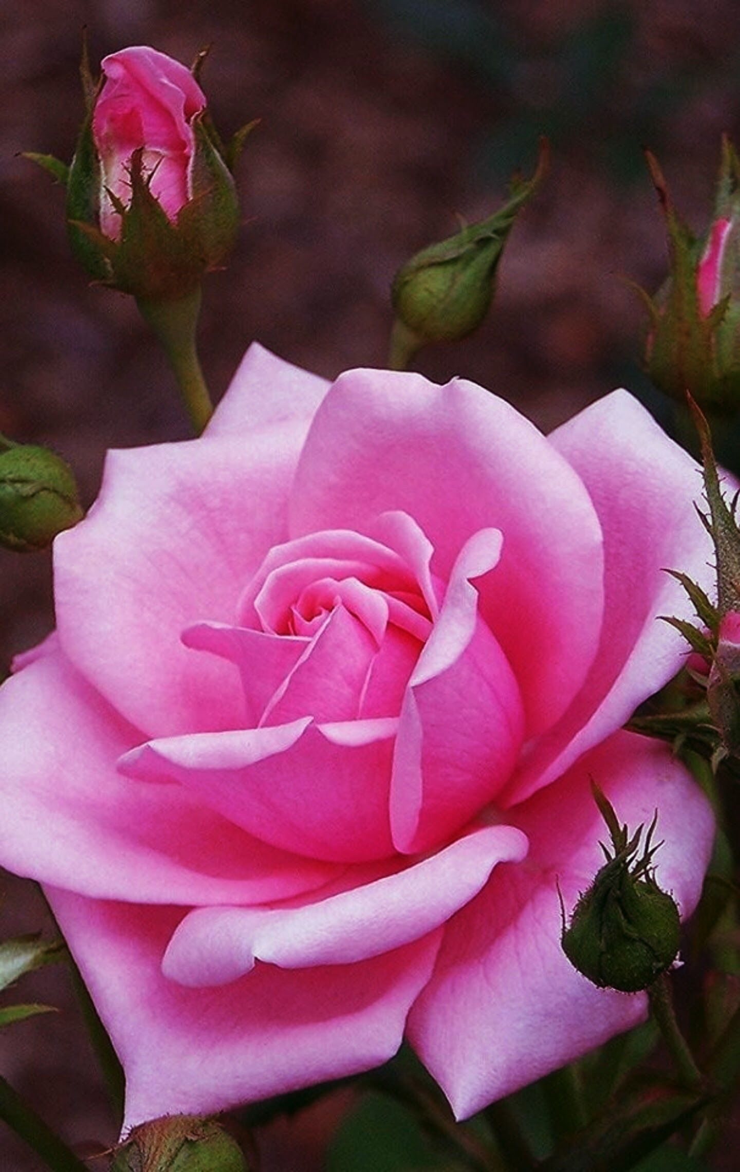 Pin by maksu po on ruusu pinterest flowers pink roses and purple roses pink rose flower pink flowers flowers for mom colorful roses izmirmasajfo