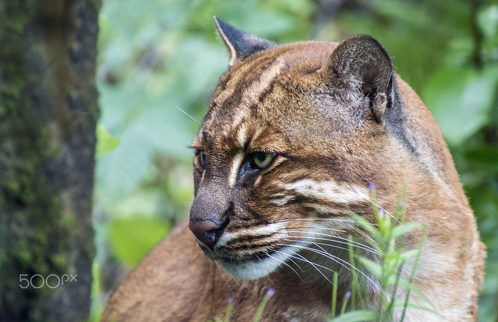 African Golden Cat (With images) Small wild cats, Wild