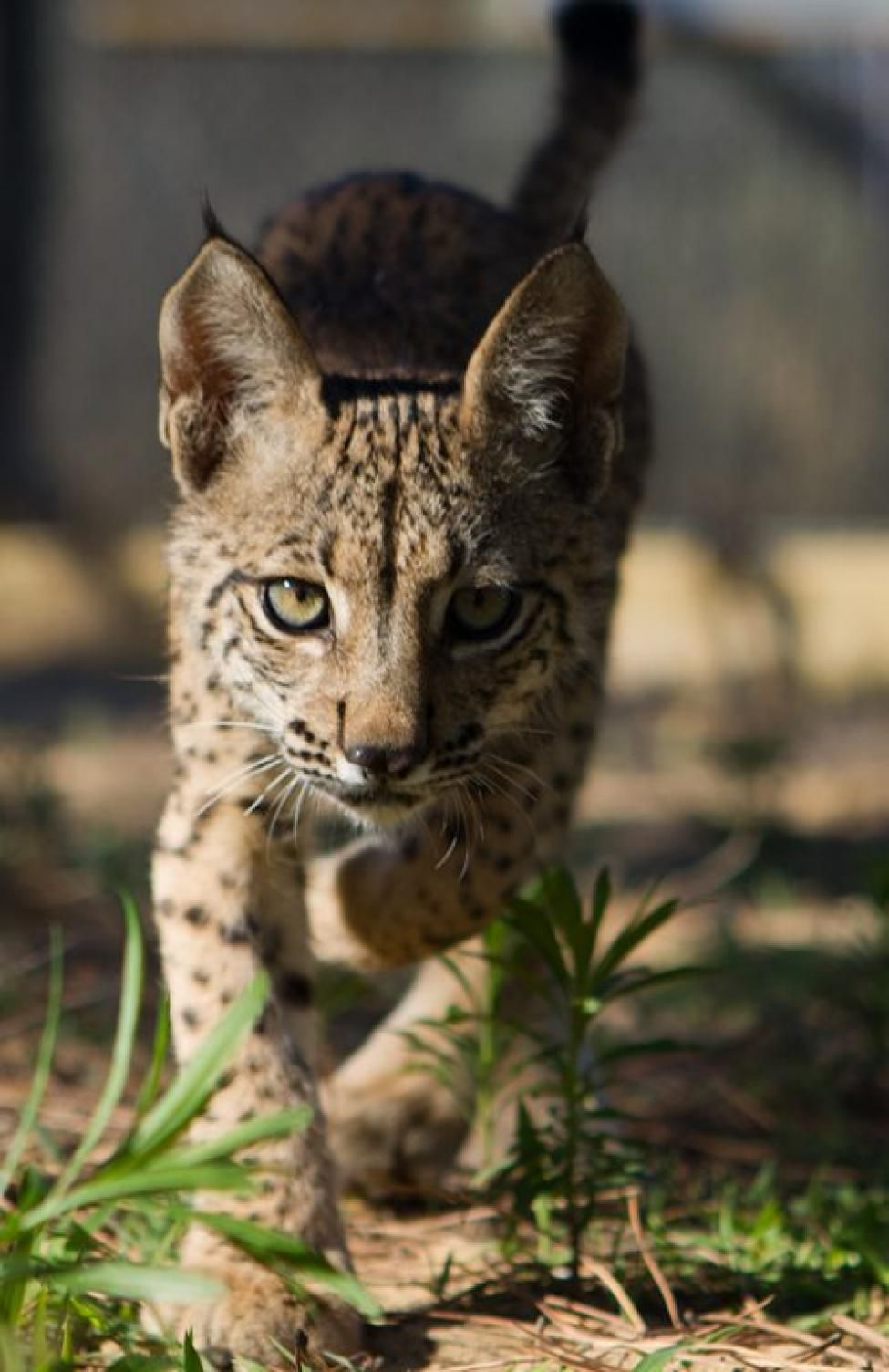 Pin by ariana sexton-hughes on save the lynx! | Pinterest | Lynx ... for Lynx Cat Pet  589hul