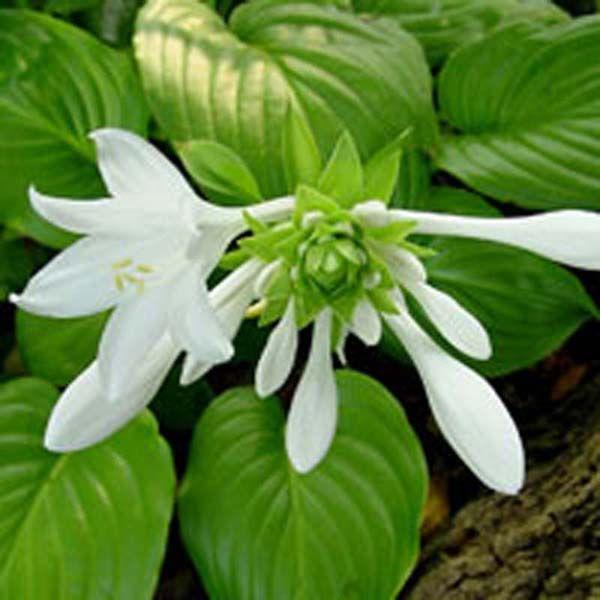 hosta plant grandiflora vivace fleurs blanches parfum es feuillage vert p le lustr sol. Black Bedroom Furniture Sets. Home Design Ideas
