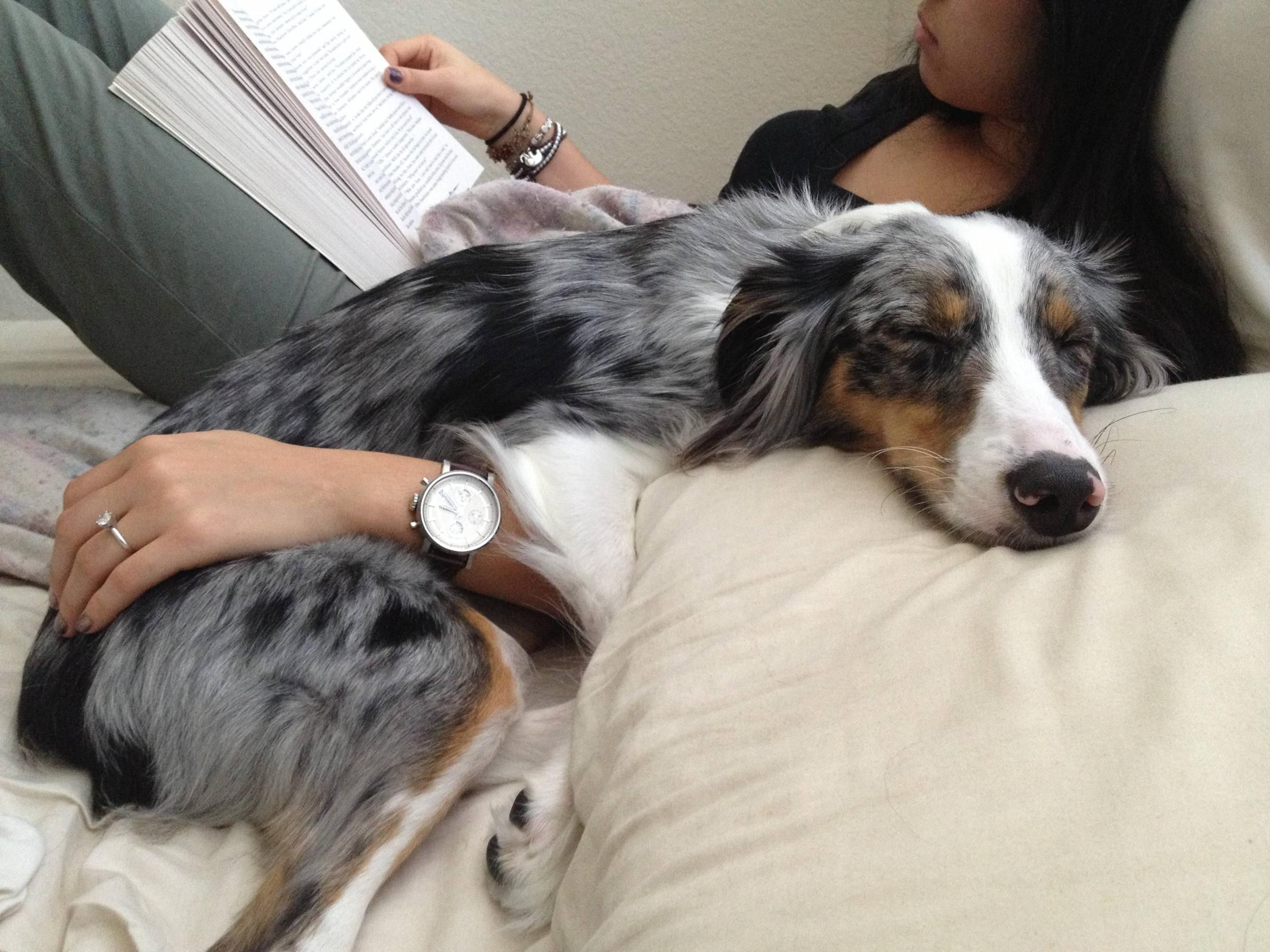 Scroll2lol Com Sunday Afternoon Nap Australian Shepherd Aussie Dogs Australian Shepherd Dogs