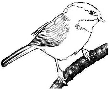 Image Result For Black Capped Chickadee Coloring Page Colouring Pages Coloring Pages Clip Art