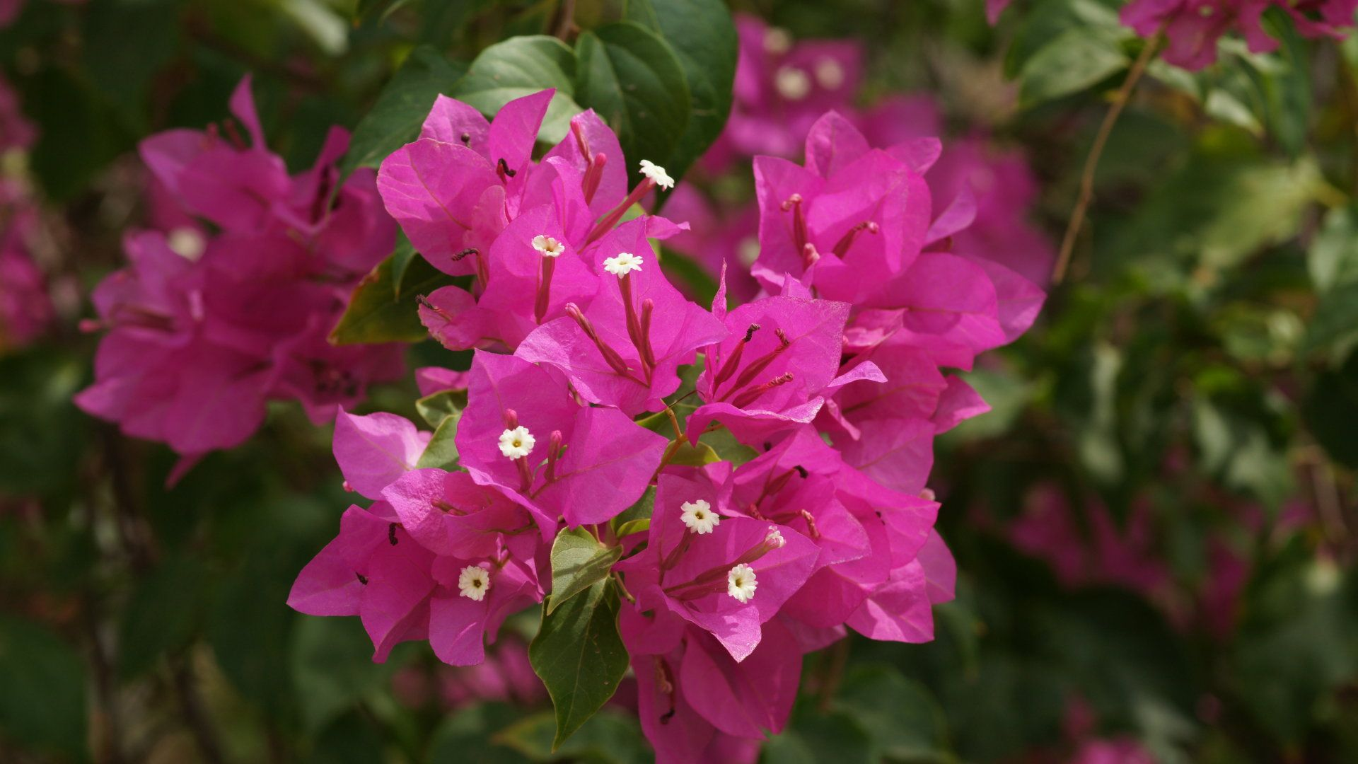 Bougainvillea Flower These Are All Over Casa A It Would Be Nice To Incorporate Flowers That Go With Into Our Own Bouquets Pma