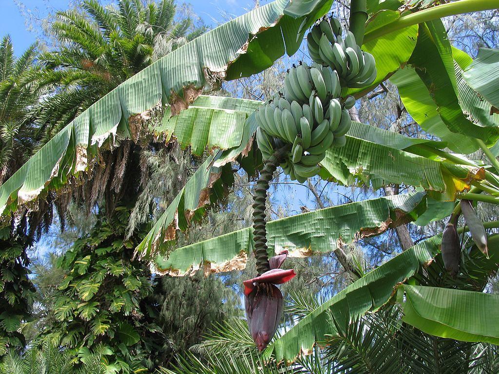 Pianta Di Banana Foto banano - È una pianta della famiglia delle musaceae. il