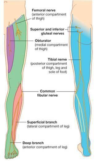 Leg Nerves … | anatomy | Pinte…