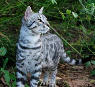 Silver Rosetted Cat Breeds Cats Cute Cats