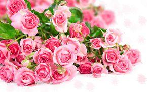 Háttérképek emelkedett, sok, rózsaszínű, virág, fotó ...