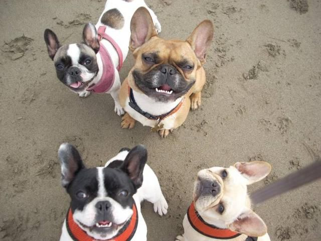 Fog City French Bulldogs Animals Pets San Francisco Ca 94110