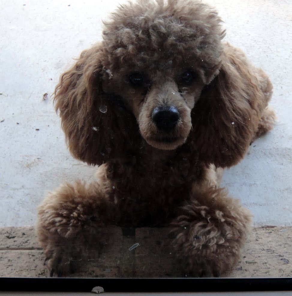 Toy Poodle Toy Poodle Puppies Face On Glass Petsrank Com Dogs