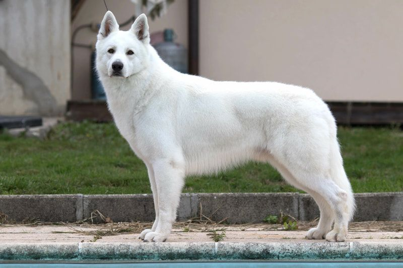 White german shepherd puppies for sale in michigan