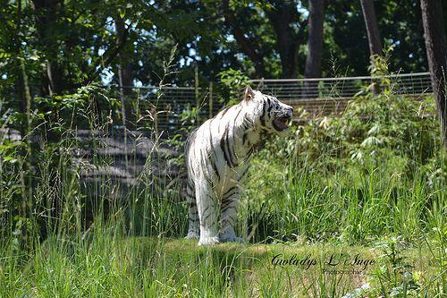 La Star de l'Année #tiger