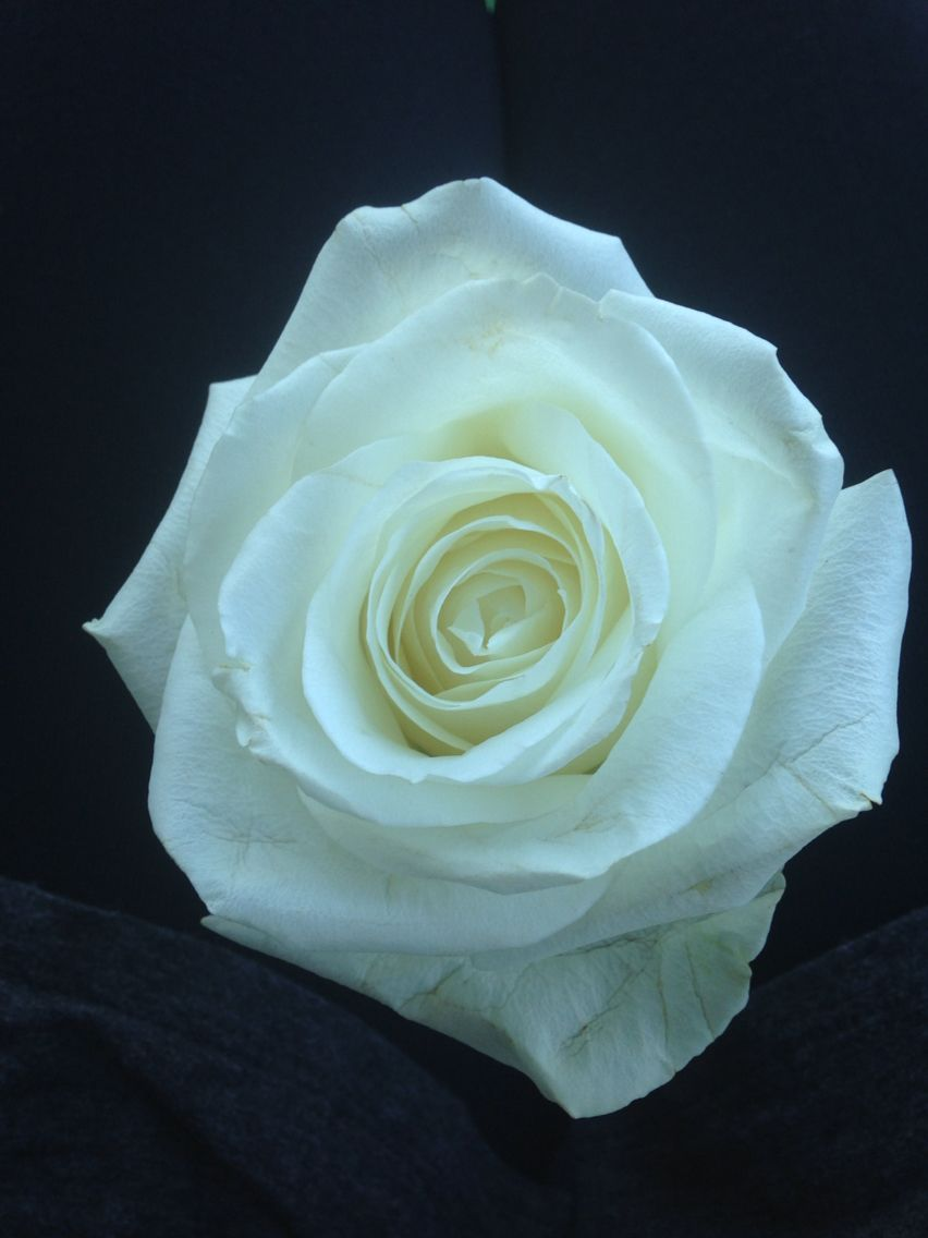 A White Rose Is A Symbol Of True Love Capturing Moments Pinterest