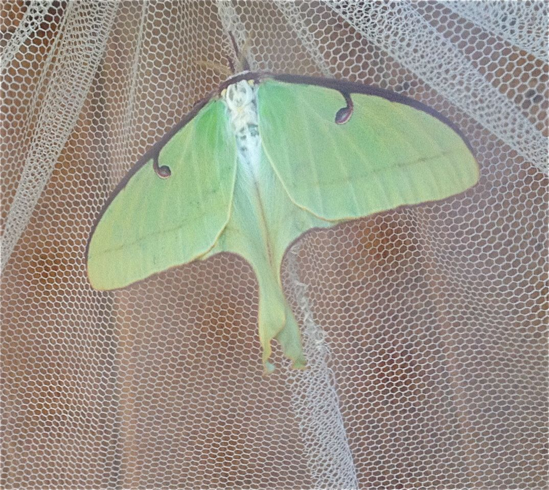 Luna Moth That Hatched In A Netted Cage At My House I Released It