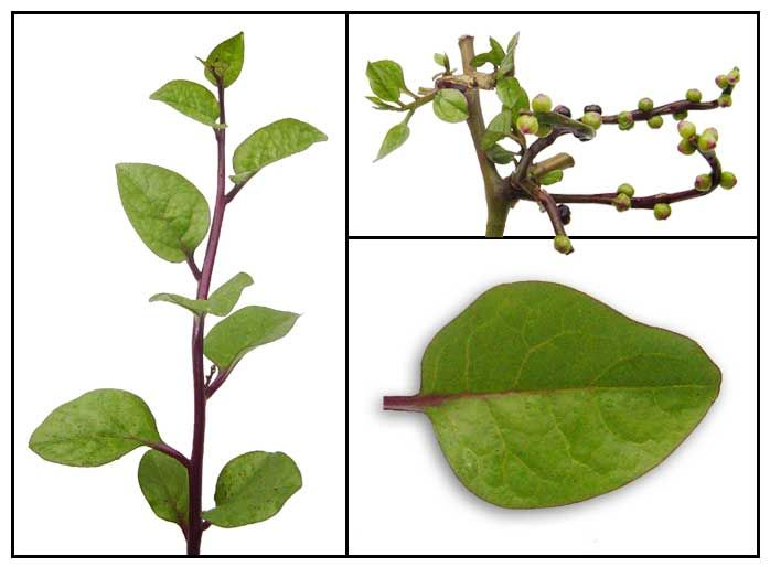 Alugbati / Basella rubra L./ Malabar nightshade / spinach vine: Philippine Medicinal Herbs / Philippine Alternative Medicine