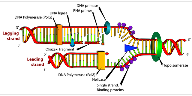 Free image on pixabay diagram dna biology labeled health diagram dna biology labeled replication label ccuart Gallery