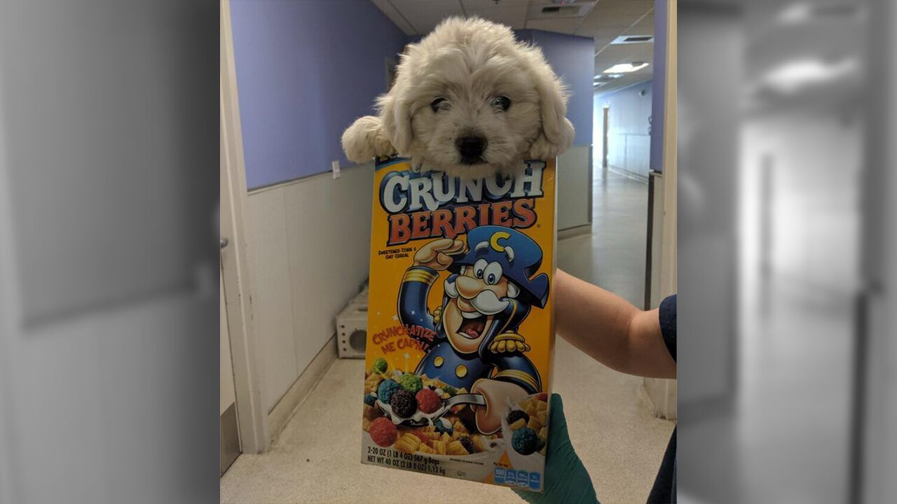 Dog Dropped Off At California Animal Shelter In Cereal Box Infested With Fleas Gets Adopted Animal Shelter Fleas Shelter