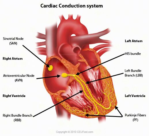 Cardiac conduction system sinoatrial node sa atrioventicular cardiac conduction system sinoatrial node sa atrioventicular node av bundle of his left right branch purkinje fibers purkinje network ccuart Images