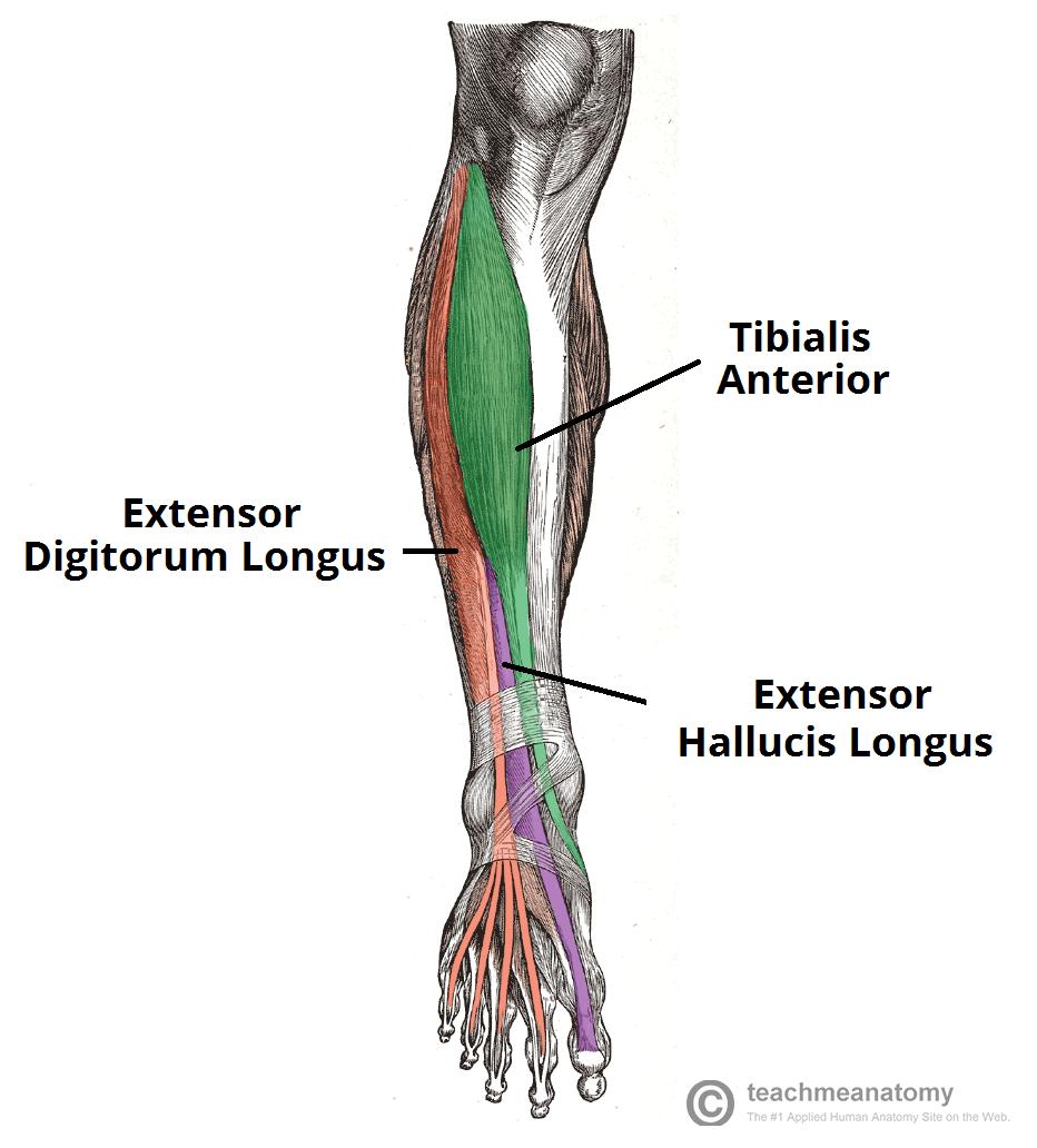 Extensor Hallucis Longus And Extensor Digitorum Longus Fibularis Tertius Brent Brookbush Human Anatomy Muscle Diagram Body Anatomy