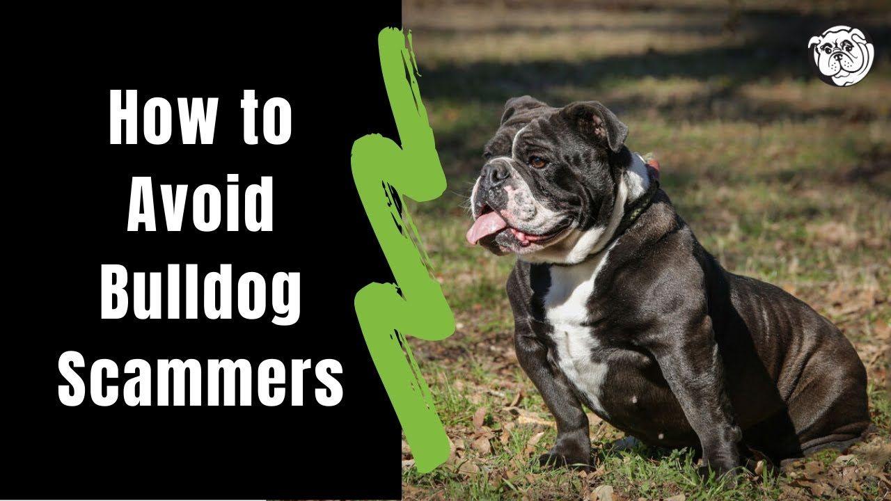 Texas English Bulldog Breeder English Bulldog Puppies 903 Old English Bulldog Dog For Sale Texas Geez In 2020 English Bulldog Dog English Bulldog Breeders Bulldog Dog